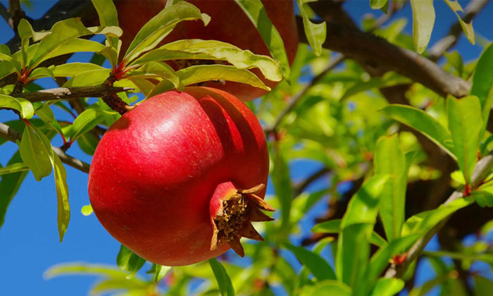 Pomegranate - Fruit of the Month!